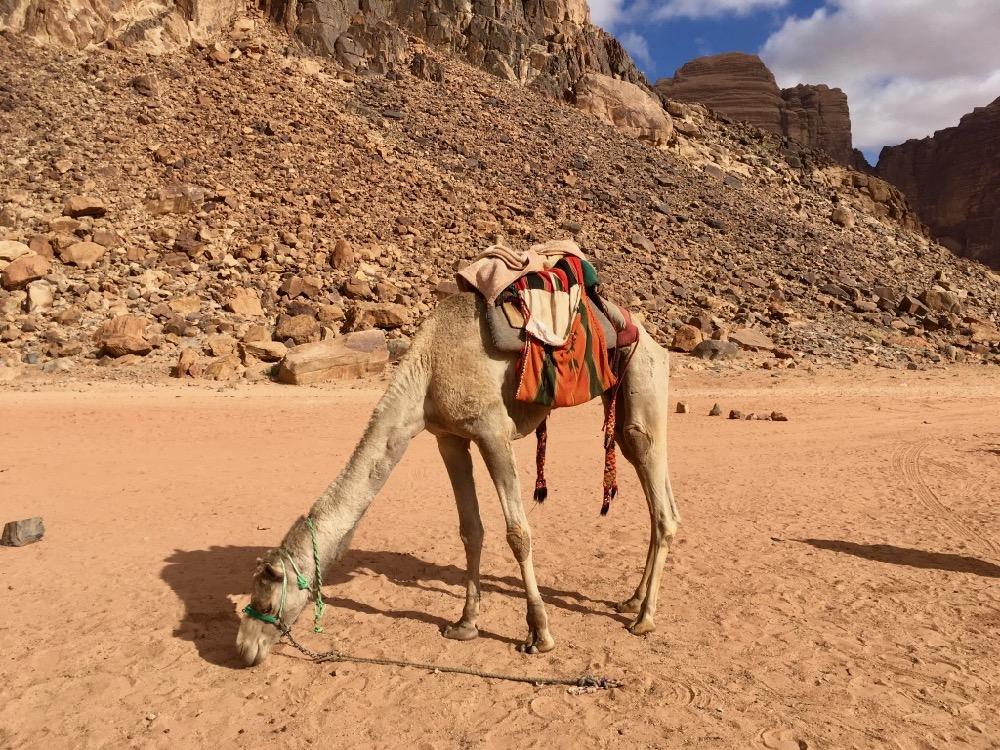 Velbloud ve Wadi Rum