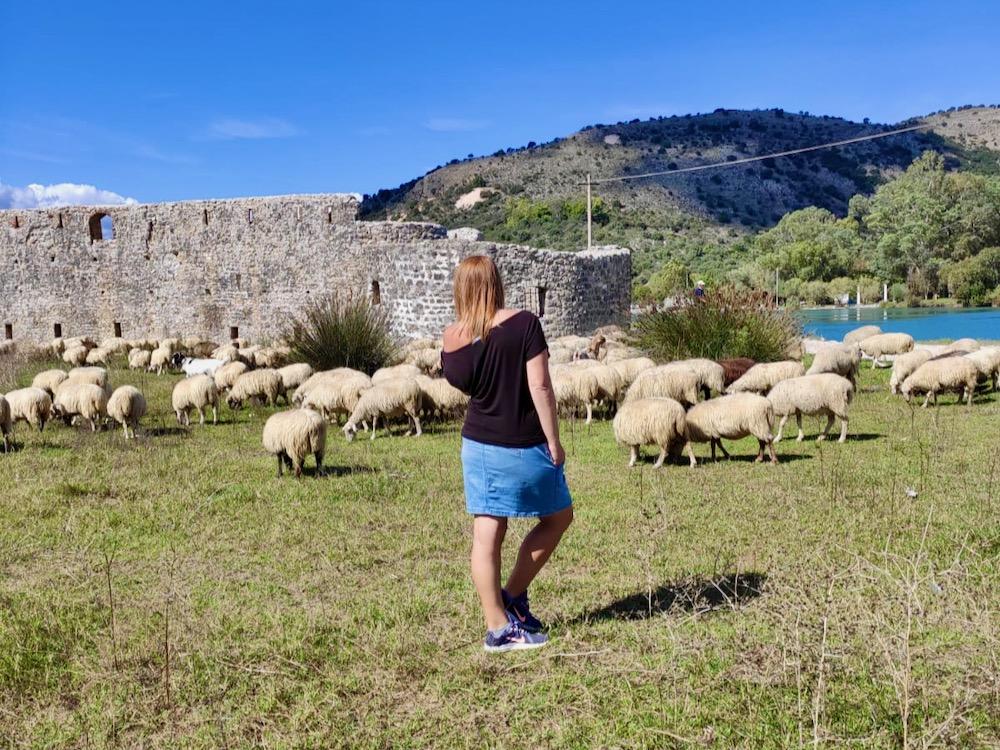 Ovečky v Albánii